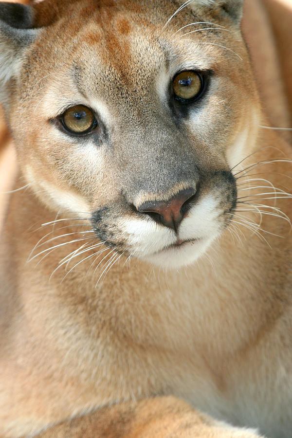 Florida Panther Photograph - Florida Panther by Karen Lindquist