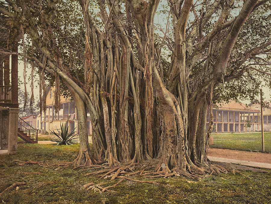 1890 Painting - Florida Rubber Tree, C1900 by Granger
