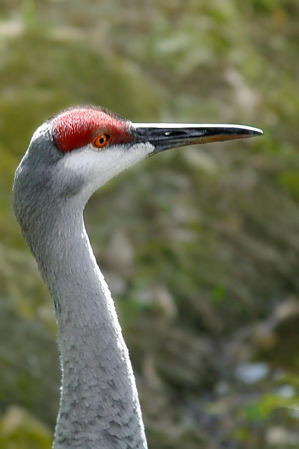 Sandhill Photograph - Florida Sandhill Crane by Christine Till
