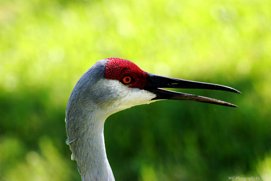 Sandhill Crane Photograph - Florida Sandhill Crane by Marty Gayler