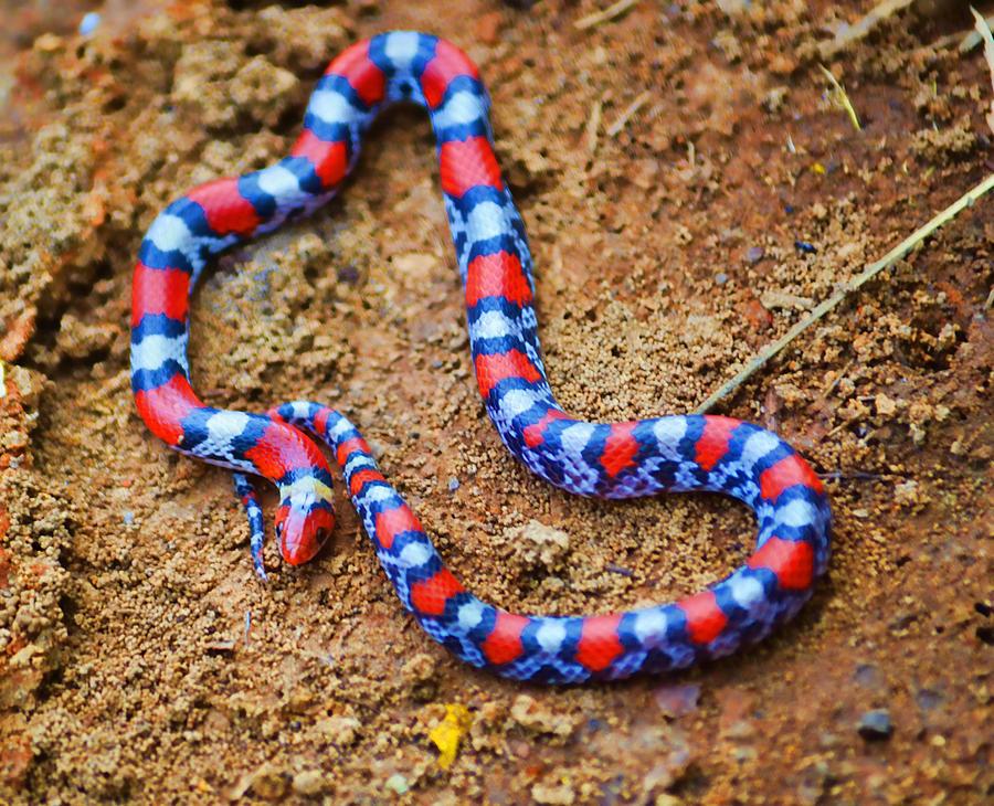 Florida Scarlet Snake Photograph By Joe Bledsoe