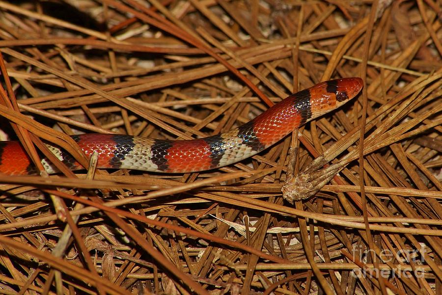 Snake Photograph - Florida Scarlet Snake by Lynda Dawson-Youngclaus