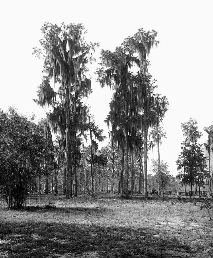 19th Century Painting - Florida Spanish Moss by Granger