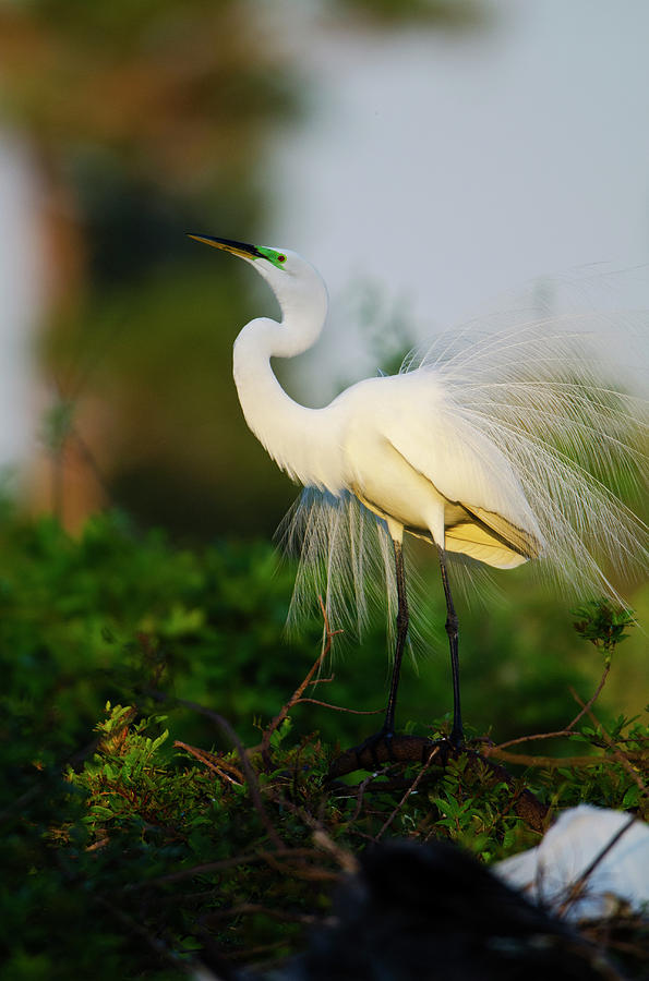 Ardea Alba Photograph - Florida, Venice, Audubon Sanctuary by Bernard Friel