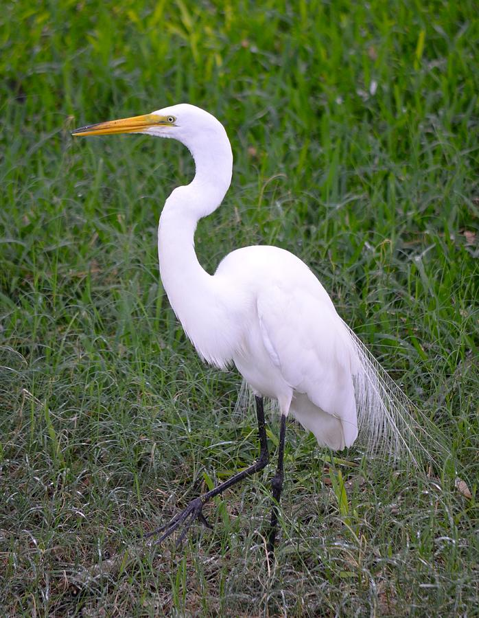 Florida White Egret Photograph By Richard Bryce And Family