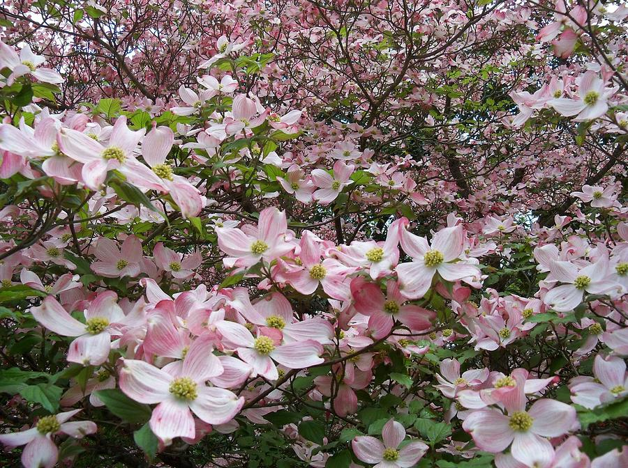 Deborah Photograph - Flourishing Pink Magnolias by Deborah Montana