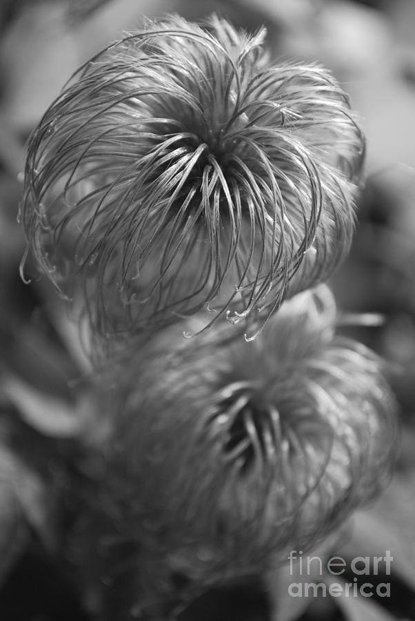 Hairy Flowers Photograph - Flourishing by Susan Hernandez