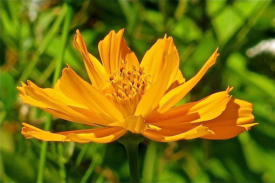 Flower Photograph - Cosmos 125 by Patsy Pratt