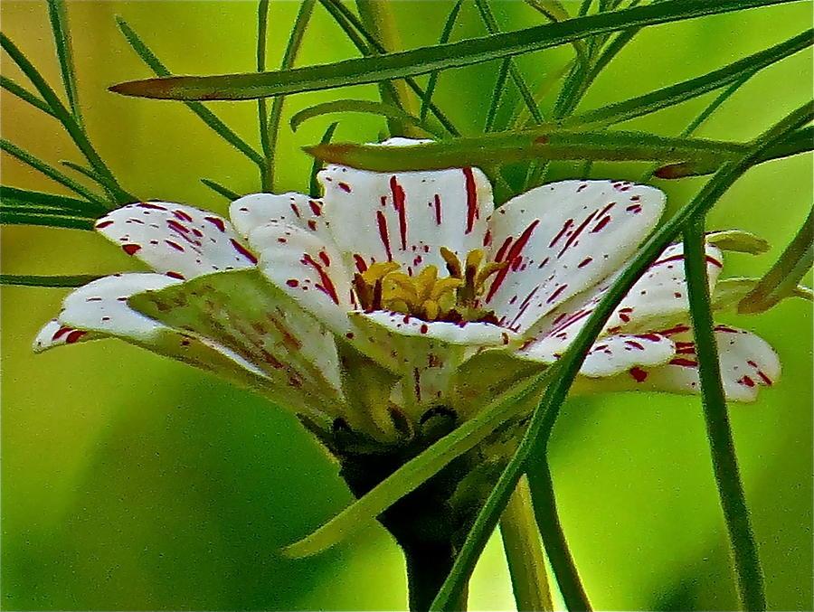 Flower Photograph - Cosmos 128 by Patsy Pratt
