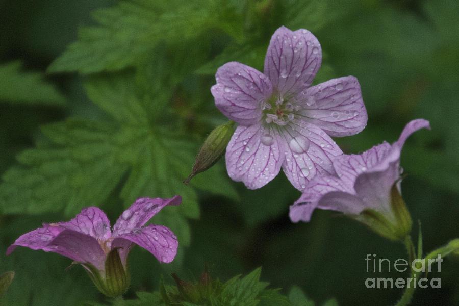 Purple Photograph - Flower Bath by William Norton