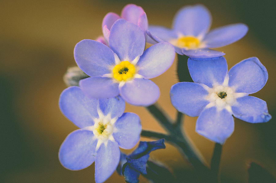 Forget Me Nots Photograph - Forget Me Nots by Marco Oliveira