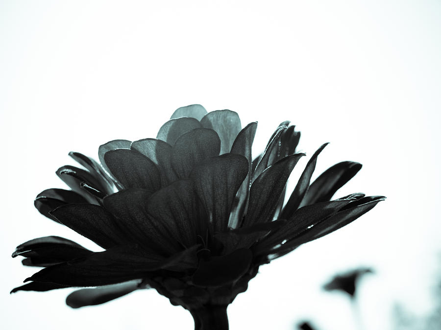 Black And White Photograph - Flower Bloom by Paige Sims
