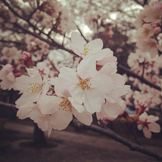 Flower Photograph - #flower Cherryblossoms by Tokyo Sanpopo