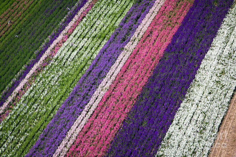 Flower Fields Photograph