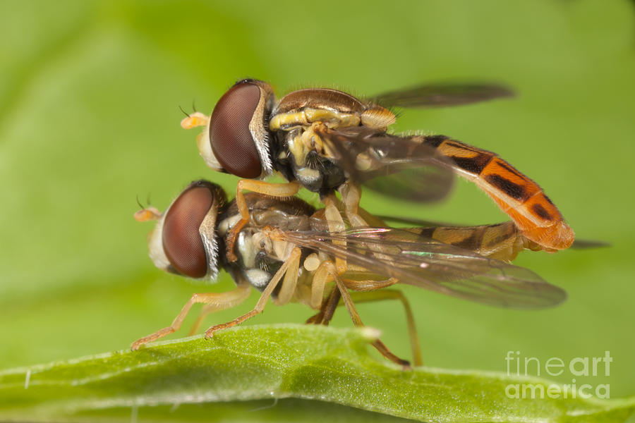 America Photograph - Flower Flies Mating by Clarence Holmes
