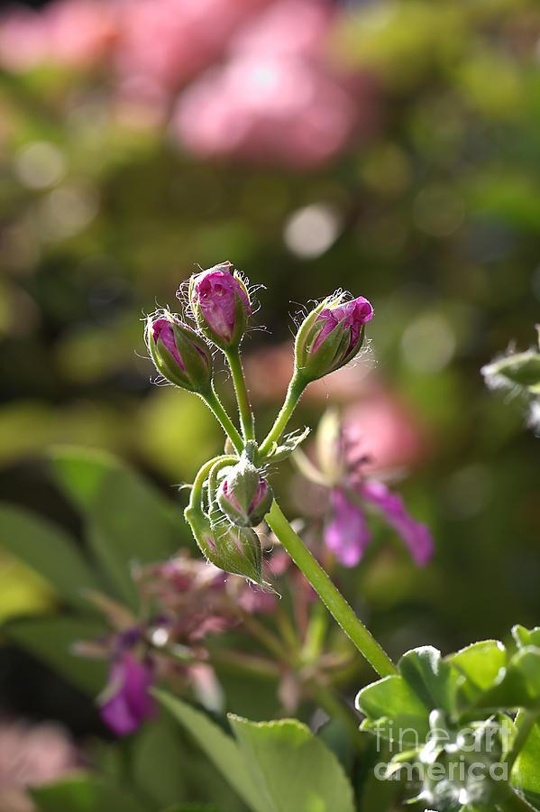 Flower Photograph - Flower-geranium Buds by Joy Watson