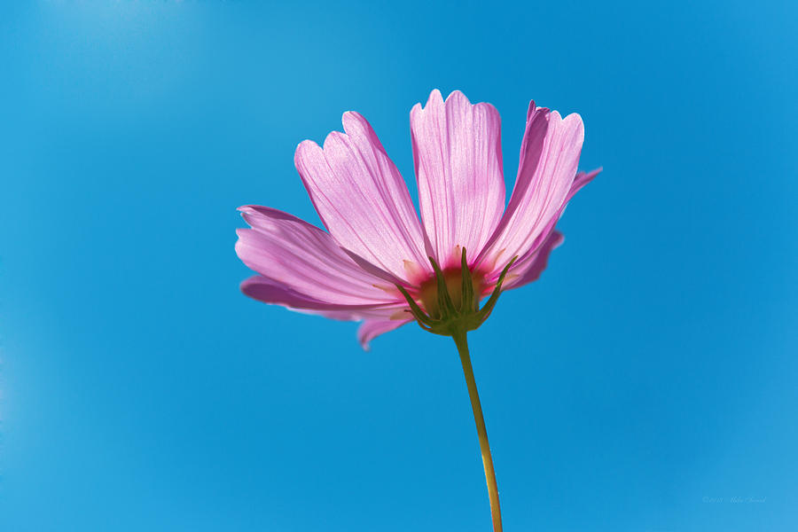 Pink Photograph - Flower - Growing Up In Philadelphia by Mike Savad