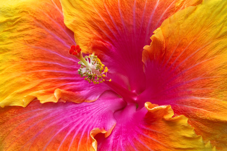 Hibiscus Photograph - Flower - Hibiscus Rosa-sinesis - Chinese Hibiscus - Appreciation by Mike Savad