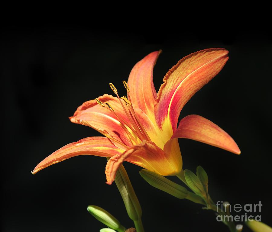 Lily Pyrography - Flower by Jelena Jovanovic