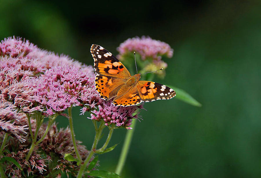 Fauna Photograph - Flower Kissed By Butterfly by Judith Russell-Tooth
