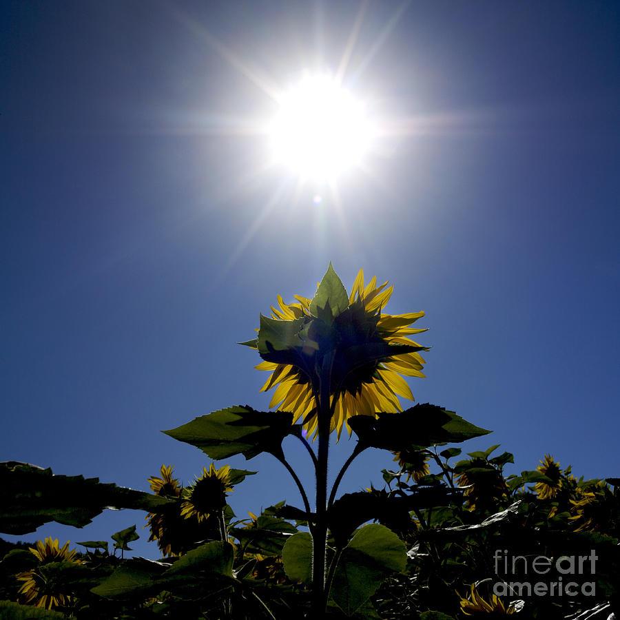 Growth Photograph - Flower Of Sunflowers by Bernard Jaubert