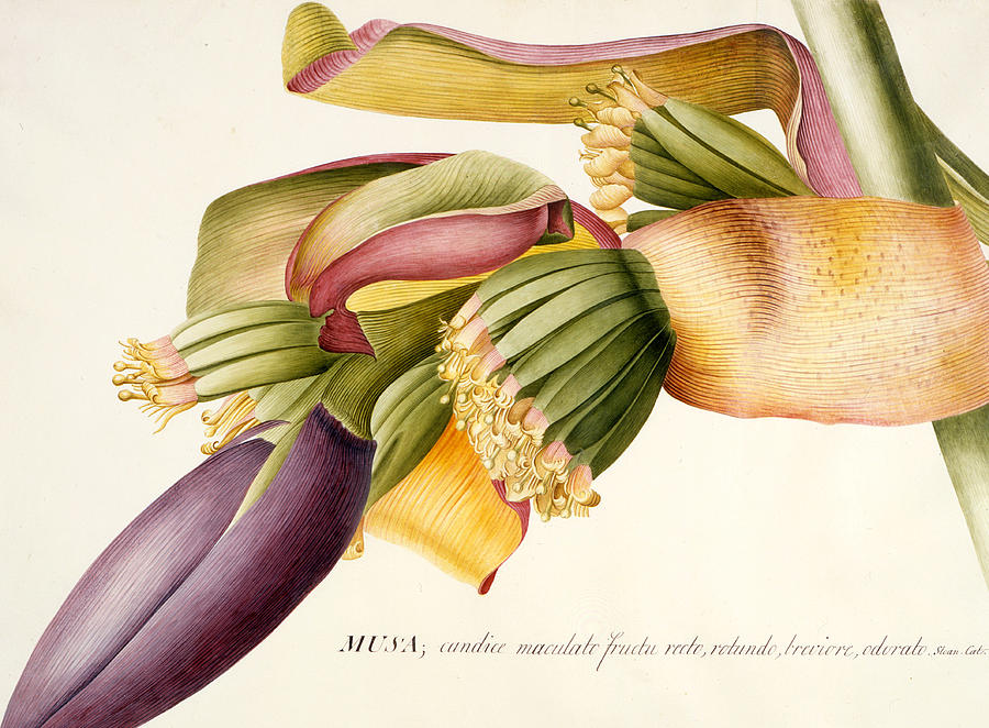 Ehret Painting - Flower Of The Banana Tree  by Georg Dionysius Ehret