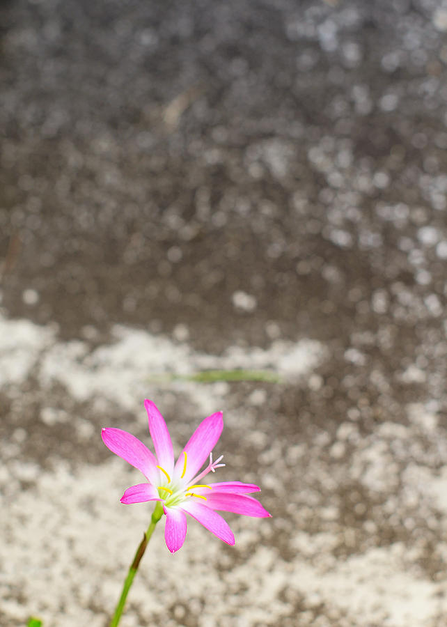 Flower On Pedestrian Photograph by Yasril Friandi