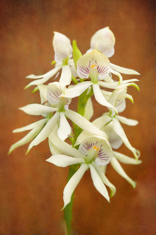 White Flower Photograph - Flower - Orchid - A Gift For You  by Mike Savad