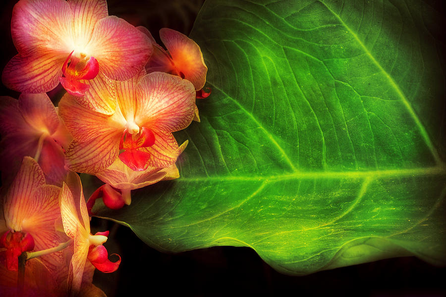 Orchid Photograph - Flower - Orchid - Phalaenopsis Orchids At Rest by Mike Savad