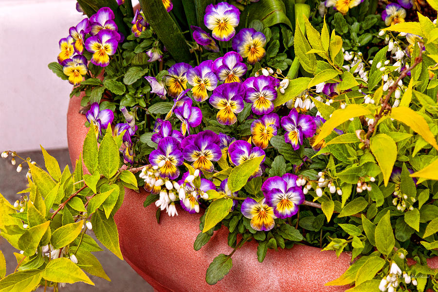 Pansy Photograph - Flower - Pansy - Purple Posies  by Mike Savad