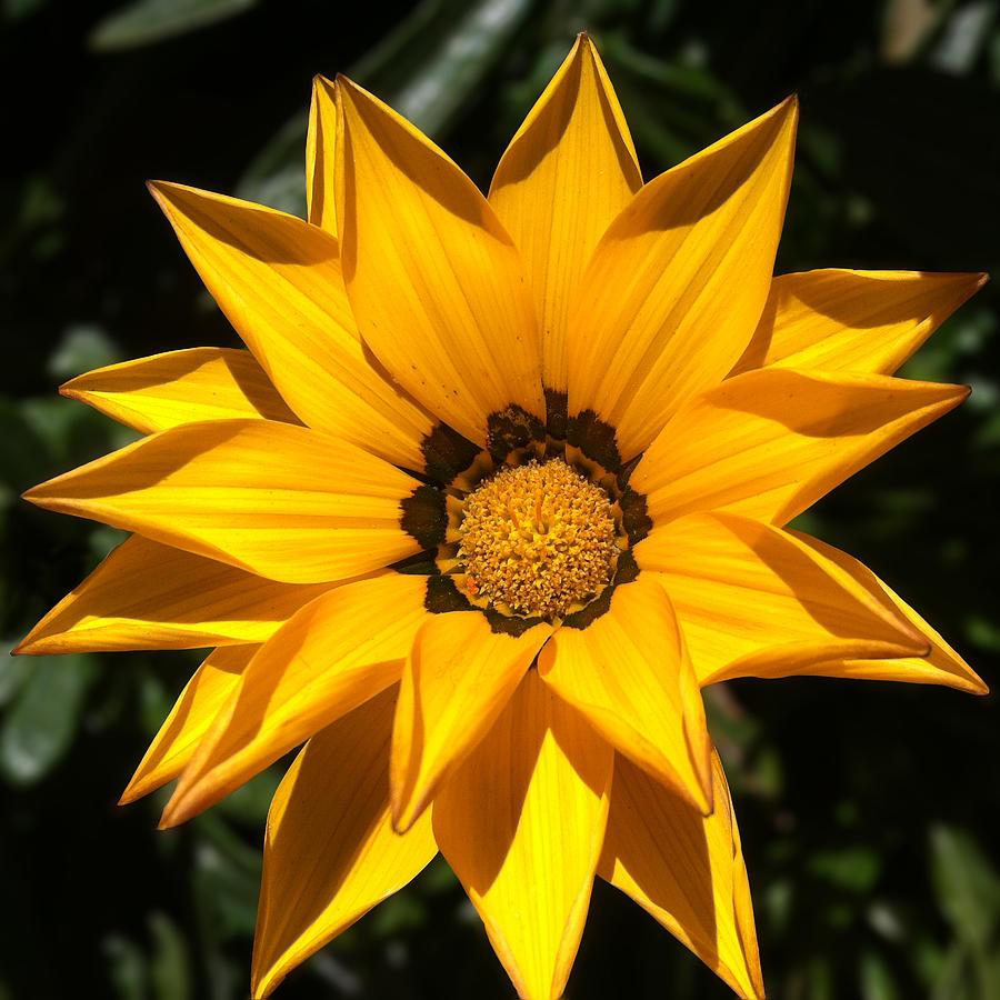 Flower Portrait Yellow Daisy 1 Photograph By Ann Pelaez