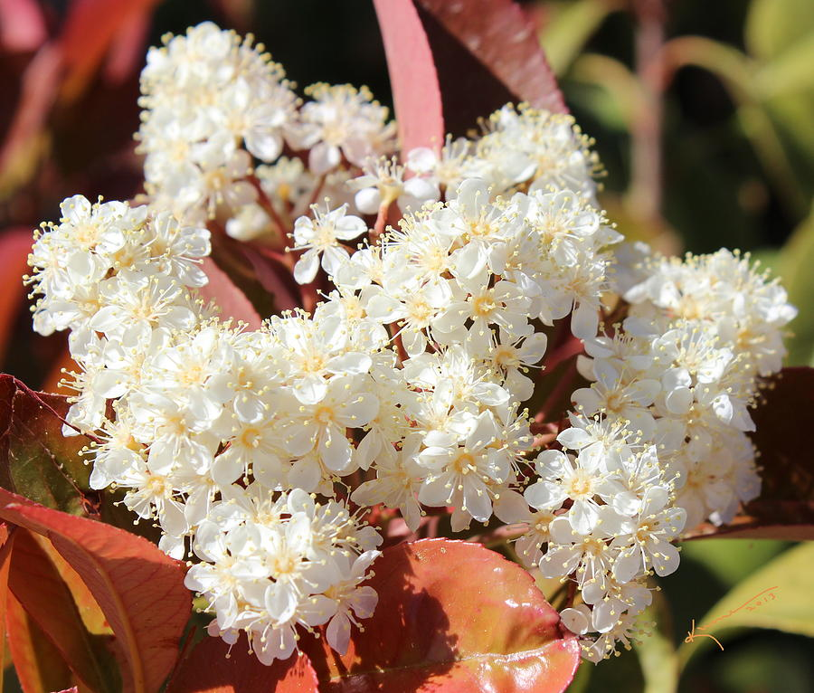 White Flowers Photograph - Flower Puffs by Kume Bryant