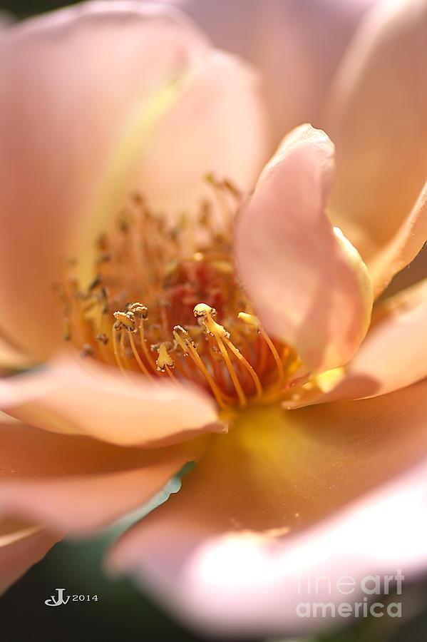 Flower Photograph - Flower-rose-soft Pink-gold Center by Joy Watson