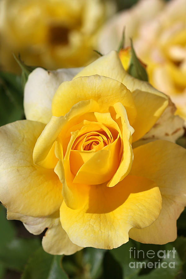 Flower Photograph - Flower-yellow Rose-delight by Joy Watson