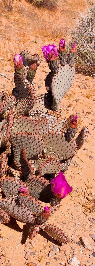 Cacti Photograph - Flowering Cacti by Wayne Vedvig