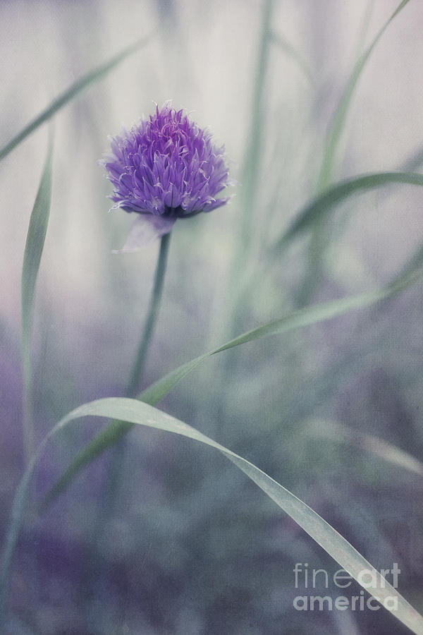 Chive Photograph - Flowering Chive by Priska Wettstein