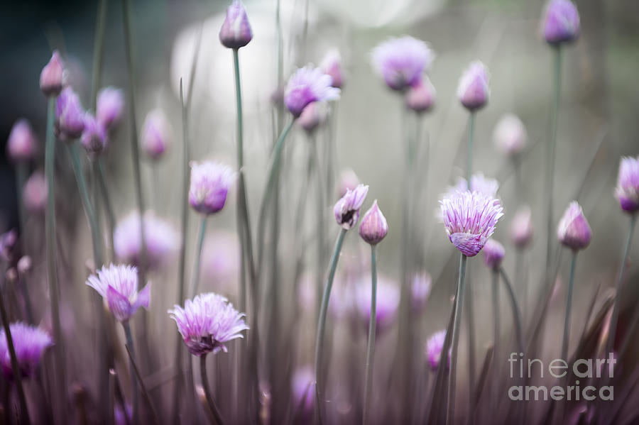 Flower Photograph - Flowering Chives Iv by Elena Elisseeva