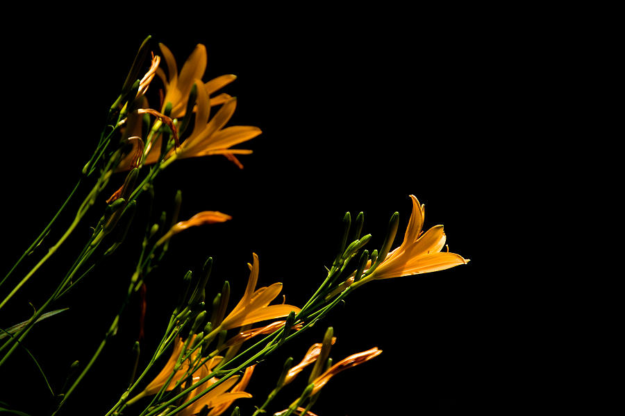 Capitol Co Photograph - Flowering Golds II by Kathi Isserman