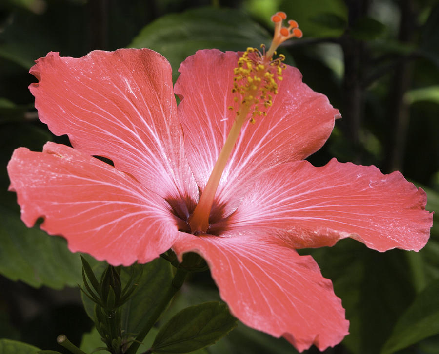 Red Photograph - Flowering Hibiscus by John Holloway