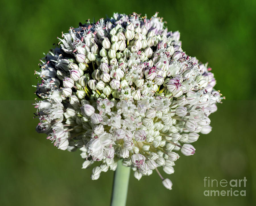 Flowers Photograph - Flowering Leek - Topaz Clarity Demo by Les Palenik