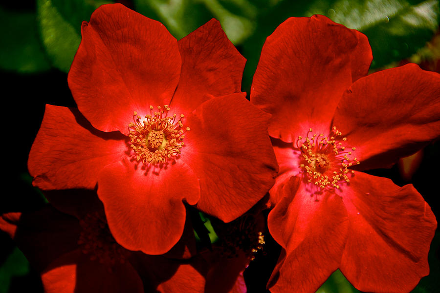Capitol Co Photograph - Flowering Reds by Kathi Isserman