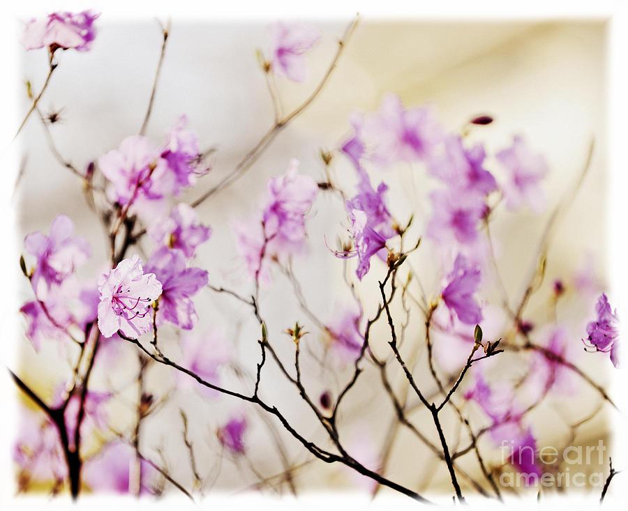 Flower Photograph - Flowering Rhododendron by Elena Elisseeva