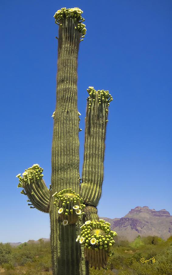 Flowering Saguaro Cactus Photograph By Penny Lisowski