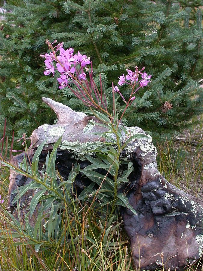 Flowering Stump Photograph by Shane Bechler