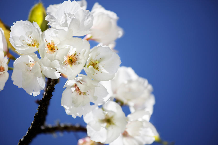 Nature Photograph - Flowering Trees by Jo Ann Snover
