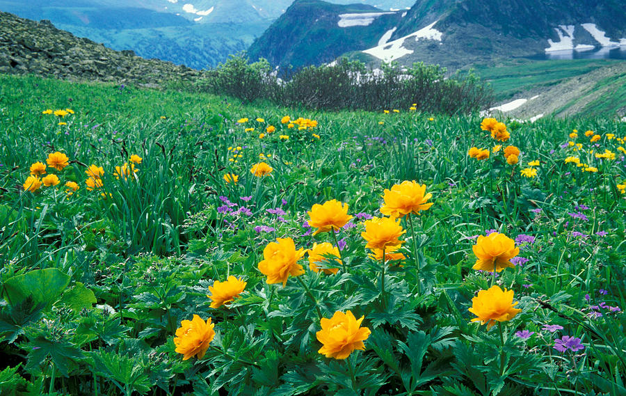 Flora; Flower; Flowers; Globe-flower; Hills & Mountains; Landscape; Mountain; Mountains; Nature; Nobody; Outdoors; Outside; Plant; Plants; Scenery; Scenic; Scenics Photograph - Flowers by Anonymous