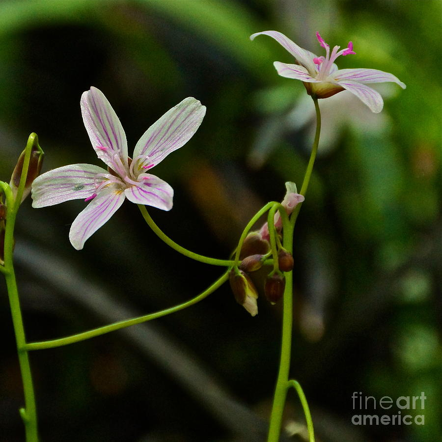 Spring Beauties Photograph - Flowers Are Smiles by Byron Varvarigos
