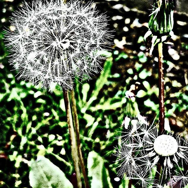 Beautiful Photograph - Dandelions  by J Roustie