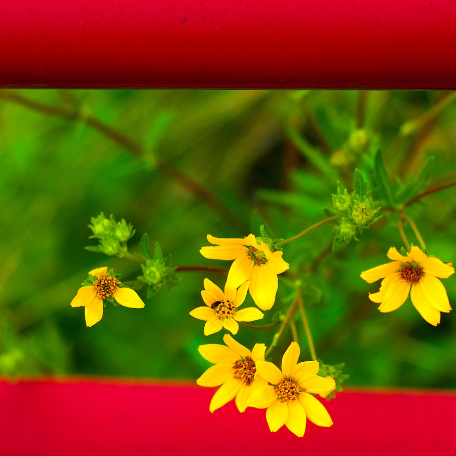 Close Up Photograph - Flowers In Red Fence by Darryl Dalton