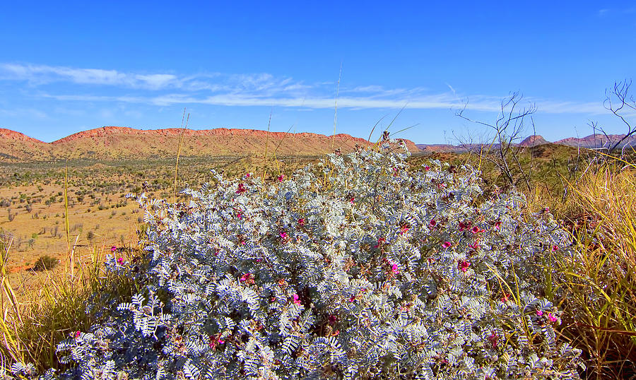 Flowers Of the Western Macdonnell Ranges by Paul Svensen